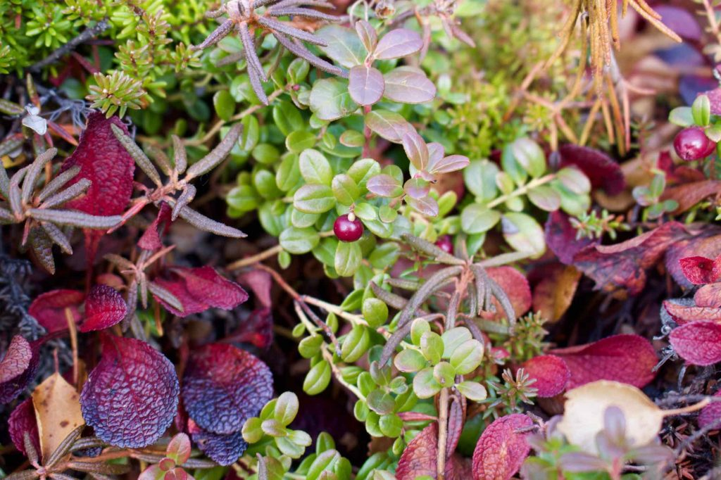 Looking down at the ground reveals more beautiful, autumn colors when you travel in Alaska: Bright green- and cranberry-colored leaves and berries are shown here. ©KettiWilhelm2021